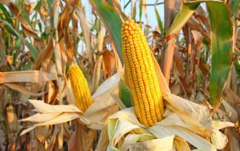Studie: Äthanol schädigt Maisbauern