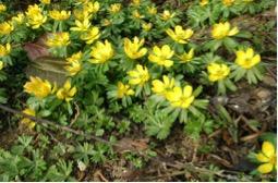 Der Frühling beginnt in Deutschland immer später. Auch die Forsythienblüte in Hamburg ist später