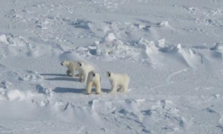 Zehn düstere Prophezeiungen bzgl. des Unterganges von Eisbären sind gescheitert: jetzt wieder 20.000 bis 30.000 Exemplare