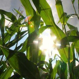 Nun ist es amtlich: Biotreibstoffe sind schlimmere Klimakiller als konventionelle Energiequellen
