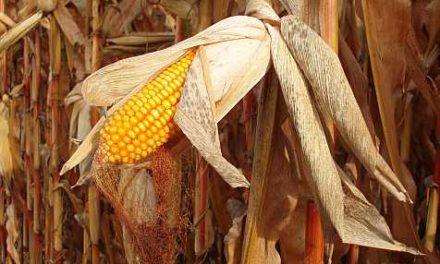 Wahnsinn Biokraftstoff: Ein weiterer katastrophaler Einfluss der globalen Erwärmungstäuschung