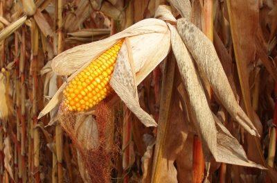 Bundesstaat Iowa kämpft dafür, den Biospritanteil weiterhin hoch zu halten