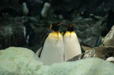 Königspinguine sind die Eisbären der Antarktis