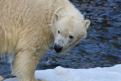 Bericht über den Status der Polarbären (POLAR BEAR REPORT) 2017