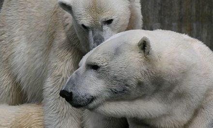Die wahre Geschichte hinter dem berühmten verhungerten Eisbär-Video offenbart Manipulation