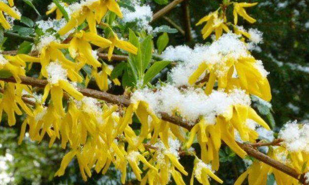 Auch die Forsythienblüte in Seesen am Harz verspätet sich