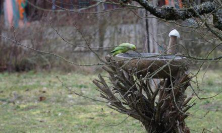 Der Beweis für den Klimawandel: Papageien im Stadtpark Mannheim!