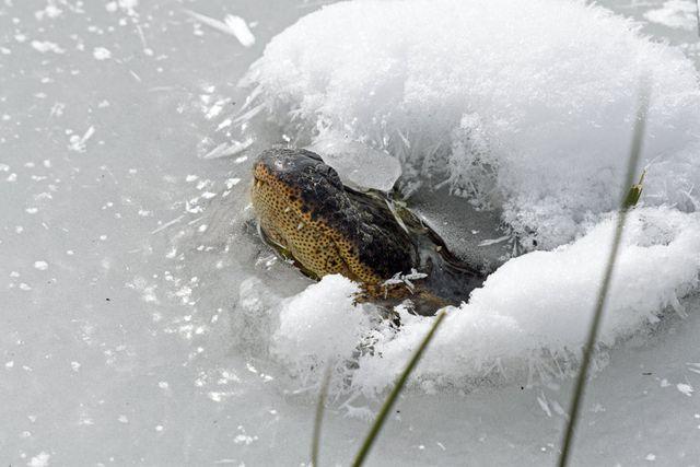 Im Eis eingefrorene Alligatoren in Oklahoma