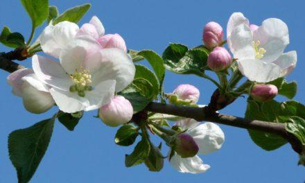 Kältester April 2021 seit etwa 40 Jahren – die Apfelblüte in Weimar begann diesmal deutlich verspätet